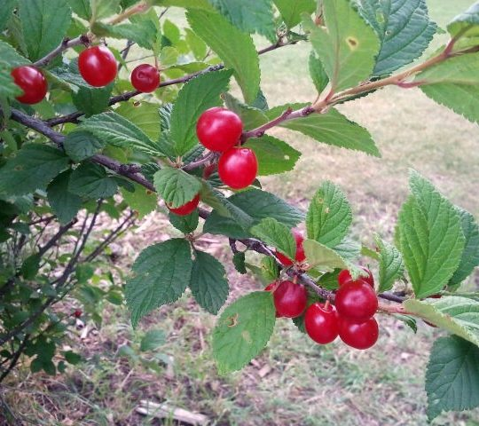 Nanking Cherries still on the bush.