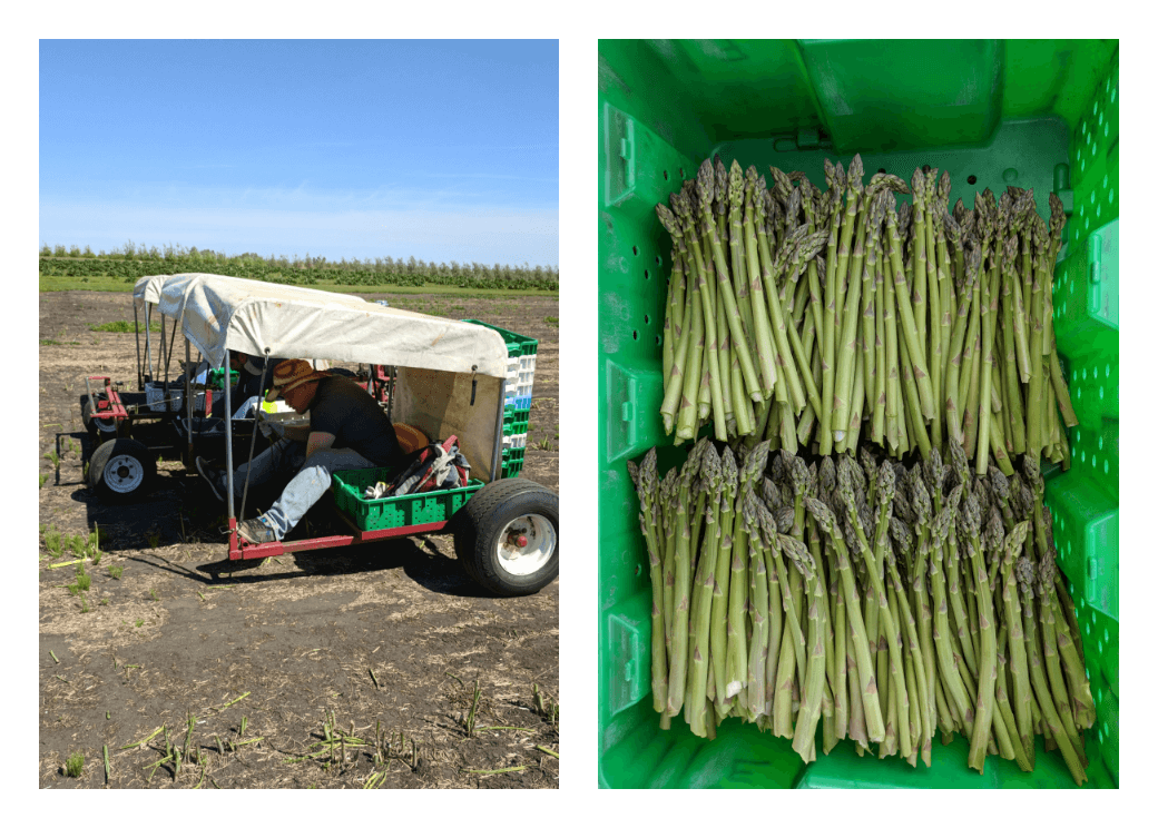 Harvesting Asparagus by buggy at Edgar Farms Alberta; Freshly harvested Asparagus from Edgar Farms