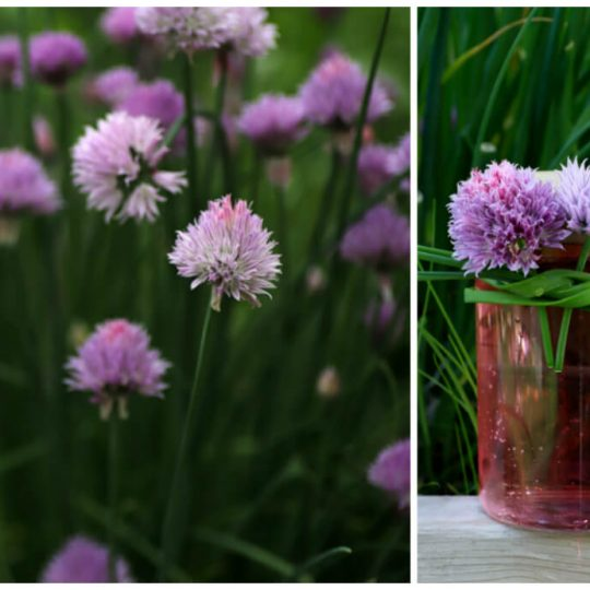 A chive blossom topped glass jar filled with pink vinegar in front of a garden of chives in blossom.