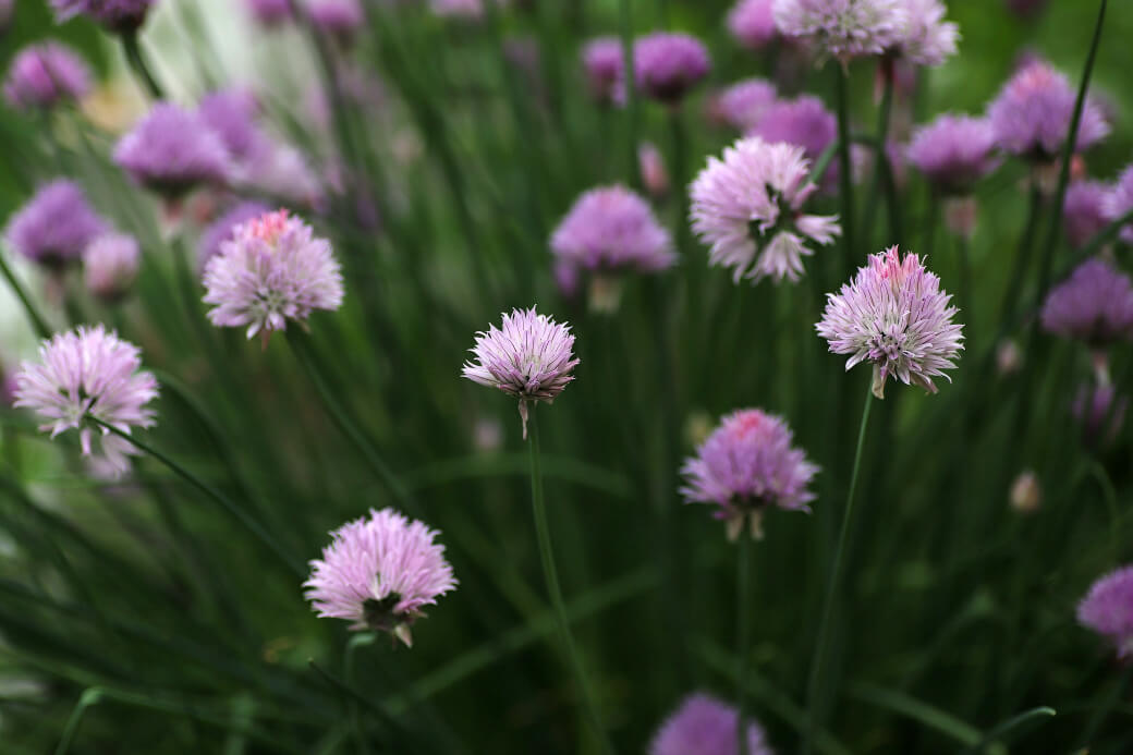 Chives in blossom.