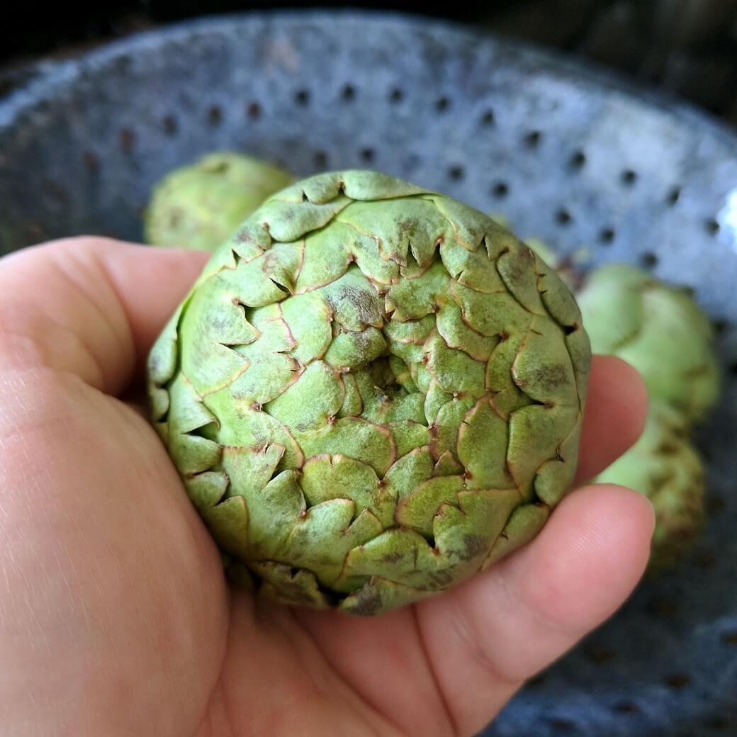 Baby artichoke in a hand