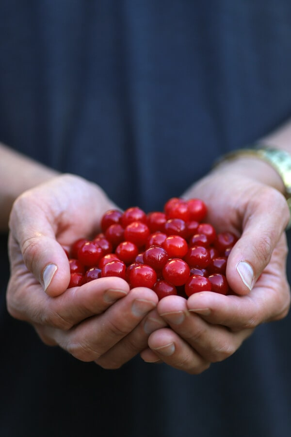 A pair of hands holding bright red sour cherries